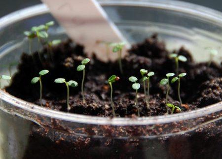 Выращивание рассады клубники.