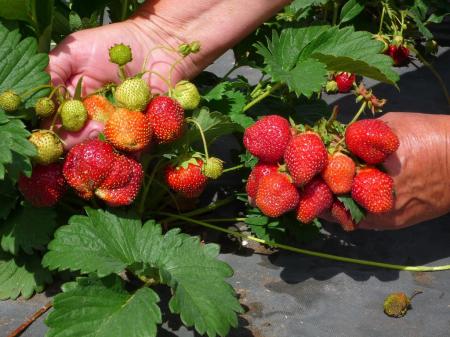 Спелые ягоды клубники.