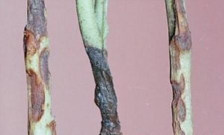 Георгины болеют черной ножкой.