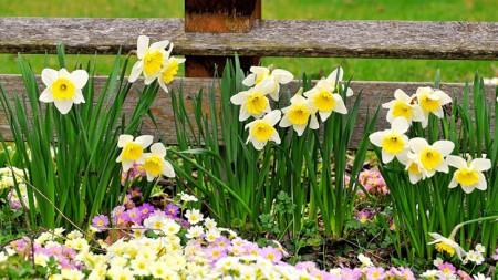 Цветы нарциссы в дизайне сада.