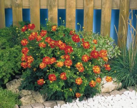 Цветы космея в дизайне сада