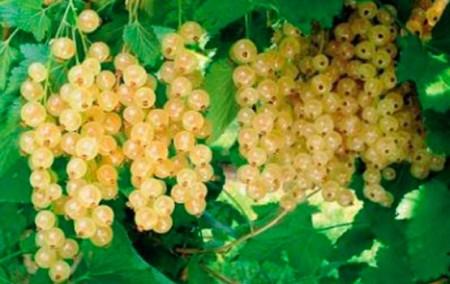 Описание сортов белой смородины