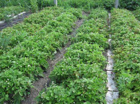Выращивание клубники Хоней