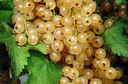 Смородина белый виноград
