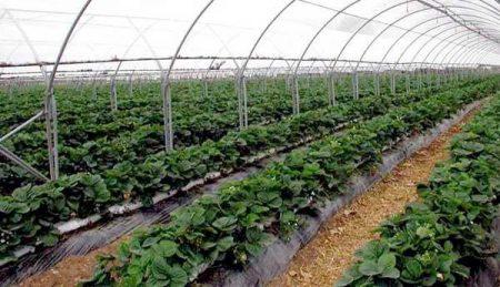 Технология выращивания клубники в теплице.