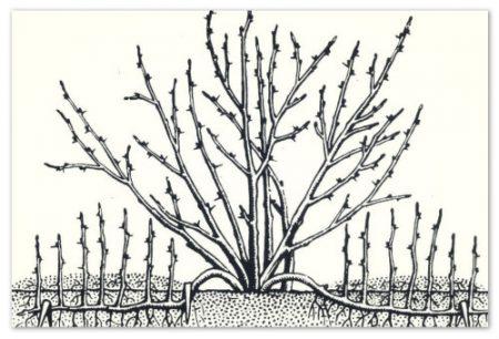Размножение черной смородины отводками.