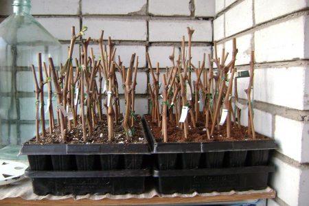 Укоренение черенков смородины зимой.