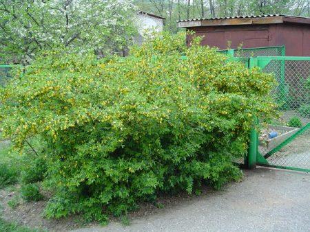 Популярный кустарник для зеленых ограждений.