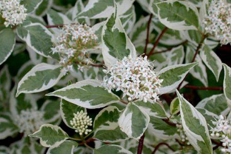 Дерен белый один из лучших кустарников для создания живых изгородей.