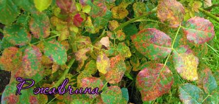 Розовый куст, пораженный ржавчиной