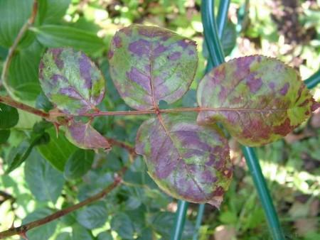 Болезни роз и способы их лечения
