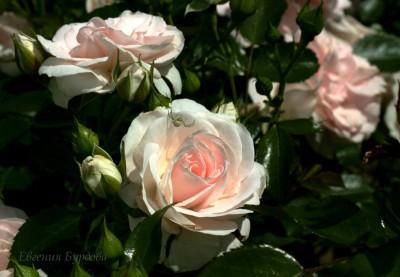 Сорт Аспирин (Aspirin Rose)