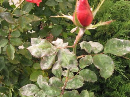 Растение заболевшее сферотекой.