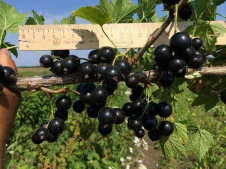 Черная смородина Ядреная, описание и агротехника