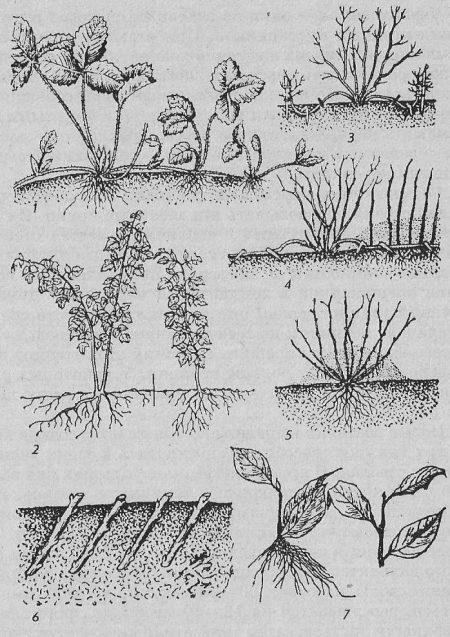 Все спопсобы размножения смородины.