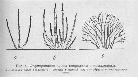 Схема обрезки кустов смородины.