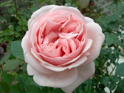 Сорт розы устойчивой к мучнистой росе.