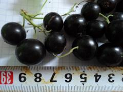 Отзывы садоводов о срте смородины Селеченская 2