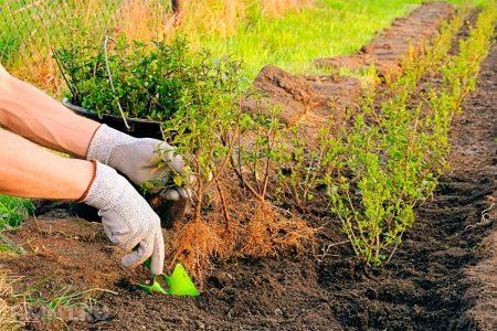 Правила посадки живой изгороди.