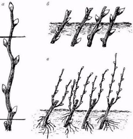 Выращивание живой изгороди из одревесневших черенков.