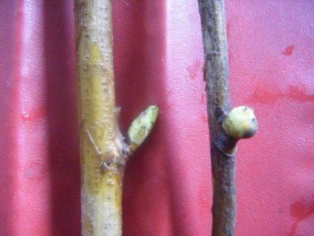 Здоровая почка смородины и почка зараженная клещами.