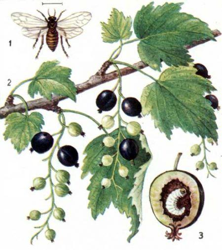 Черносмородиновый ягодный пилильщик