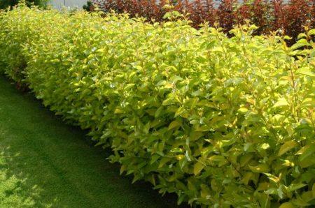 Растения для живой изгороди.