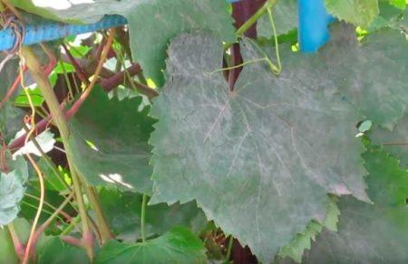 Сферотека на листьях смородины.