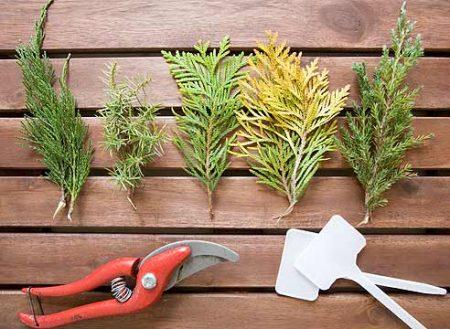 Создание живой изгороди из хвойных растений.