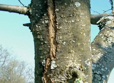 Почему трескается кора на деревьях