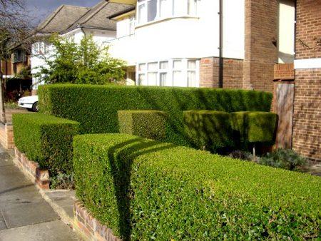 Стриженная изгородь у стены дома.
