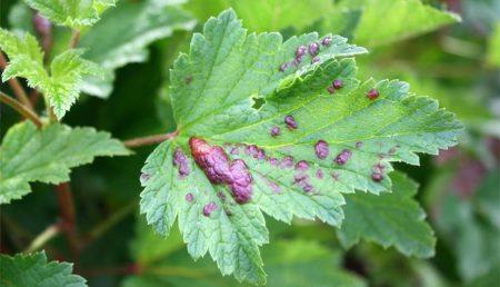 Листья пораженные листовой галловой тлей