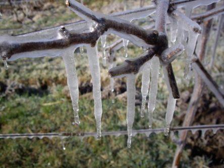 Защита смородины от заморозков.
