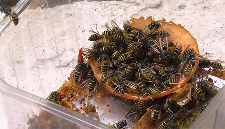 Бороться с насекомыми можно с помощью отравленных приманок.
