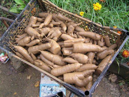 Морковь обработанная в глине.