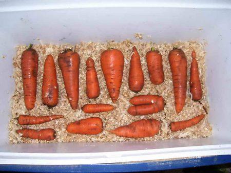 Как сохранить морковь в погребе