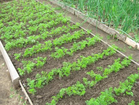 На грядке растет морковка.
