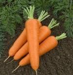 Когда выкапывать морковь и убирать ее на хранение