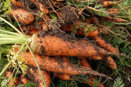 Когда выкапывать морковь с грядок.