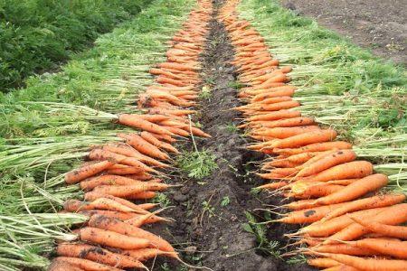 Когда убирать морковь на хранение.