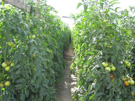 Какой сорт выбрать для выращивания рассады.