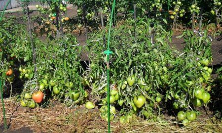 Рассада томатов в домашних условиях.