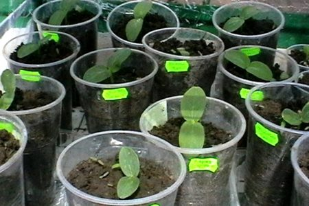 Выращивание рассады огурцов в домашних условиях.