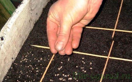 Сеем семена капусты