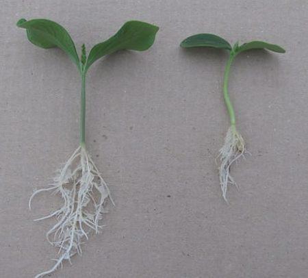 Как выращивать рассаду огурцов.