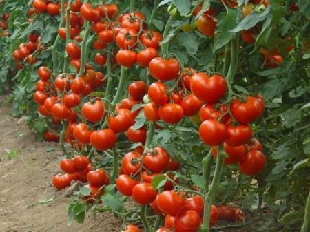 Посадка томатов по Лунному календарю.
