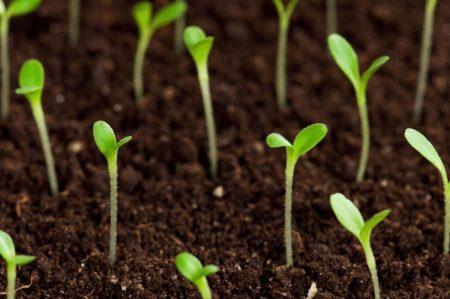 Неудачи при выращивании рассады баклажанов.