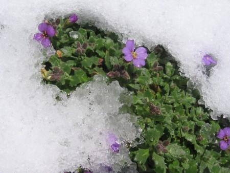 Аубреция осенью в снегу.
