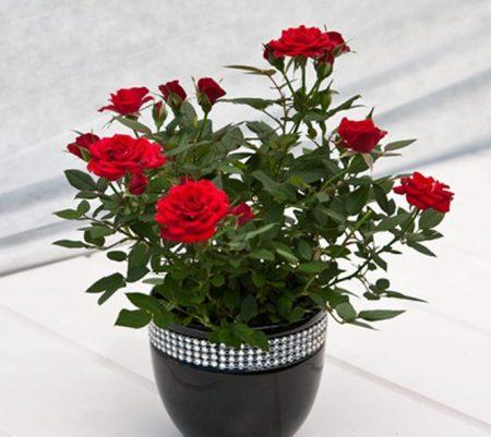 Желтеют листья у комнатной розы