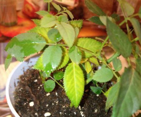 От сквозняка часто желтеют листья.